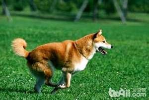为什么养柴犬的人很少柴犬有哪些缺点