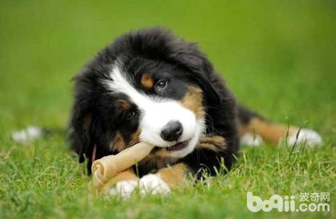 伯恩山犬好养吗