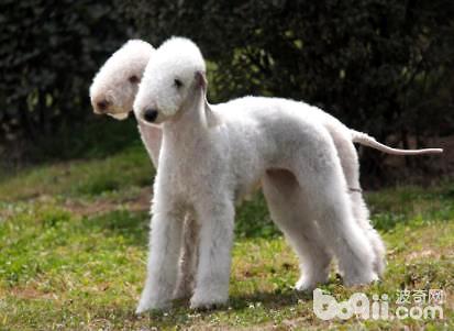 贝灵顿犬有攻击性吗
