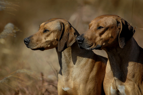 狗狗支气管肺炎的预防治疗