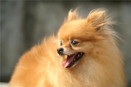 宠物狗毛发有光泽的技巧