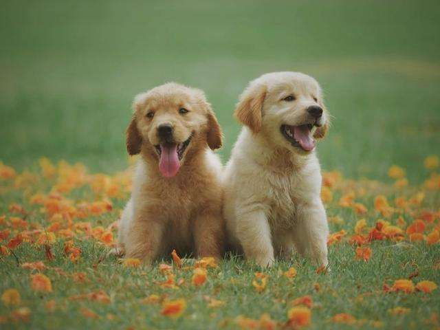 狗狗过敏特征是什么?