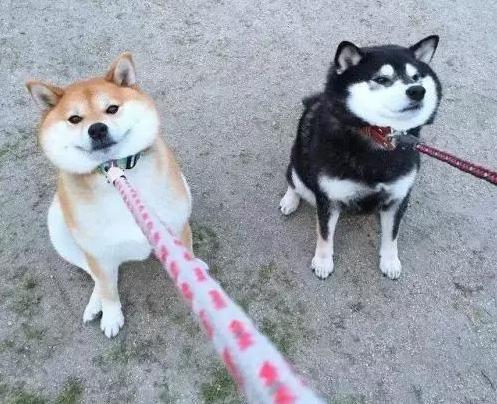 盘点那些最难遛的狗?