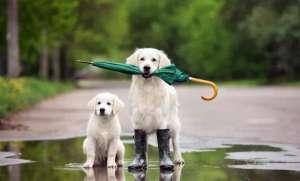 狗狗在雨季出门需要注意哪些事项?