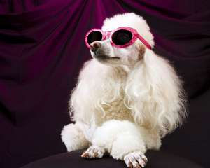 金毛母犬多大可以做结扎?