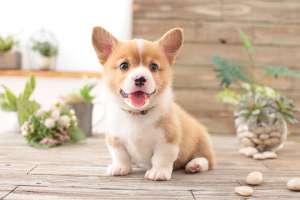 柴犬日常护理有哪些?