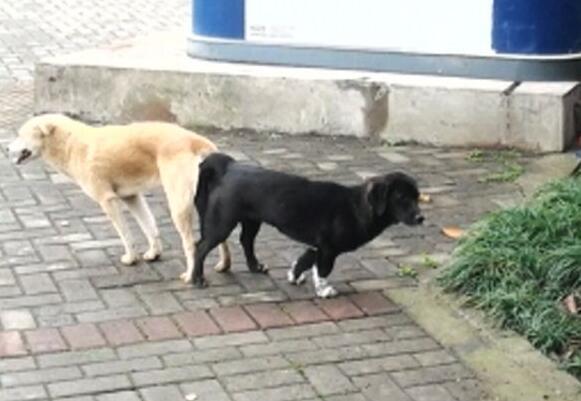 狗狗怎么配种,狗狗交配的正确方法