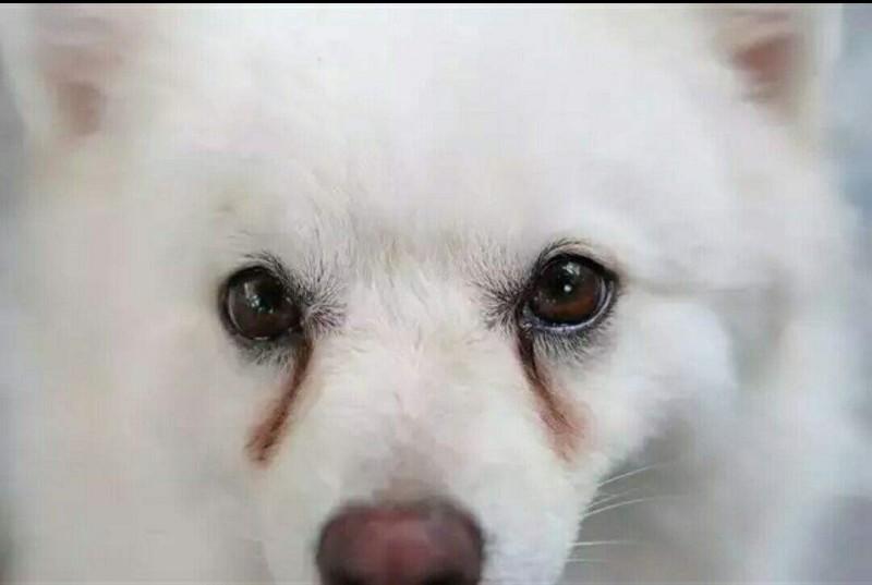 狗狗泪痕严重的几大原因,你都知道吗