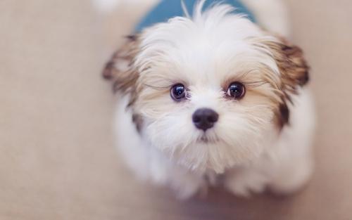狗狗吃巧克力为什么会死?