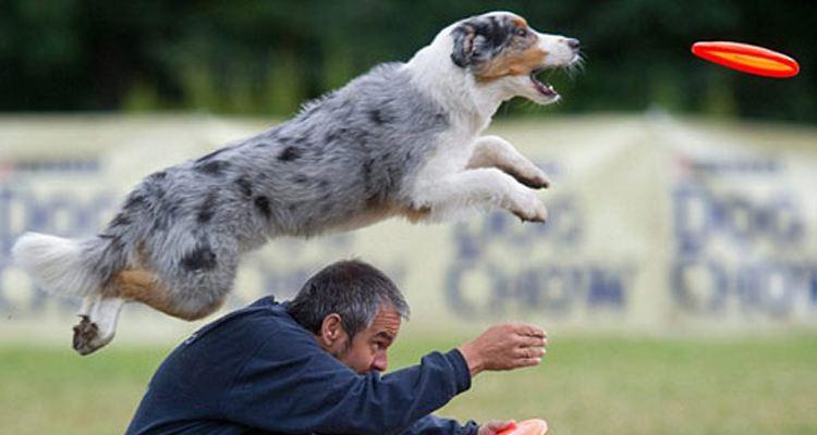 可以做飞盘狗的狗狗都有哪些?
