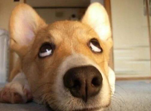 狗狗哮喘怎么办,狗狗哮喘的症状及治疗方法