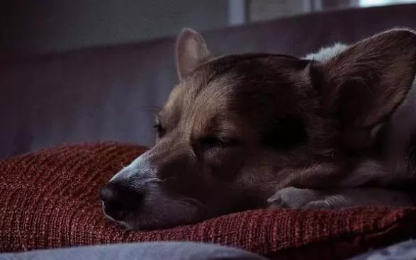 小狗为何大白天也入睡,还睡好长时间?这我觉得是他们的本能反应要求