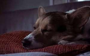 狗狗为何大白天也入睡?