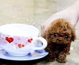 """这5种小狗身型不大,归属于""""长不大""""的迷你狗"""
