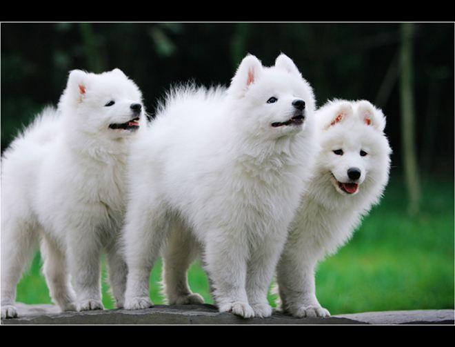 狗狗配种常识?