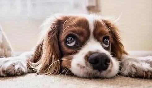 """6个喂养小狗的普遍""""错误观念"""",那样养下来,小狗使用寿命都是递减"""