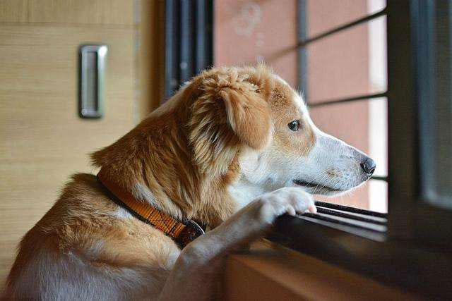 你的宠物狗狗有分离焦虑症吗?
