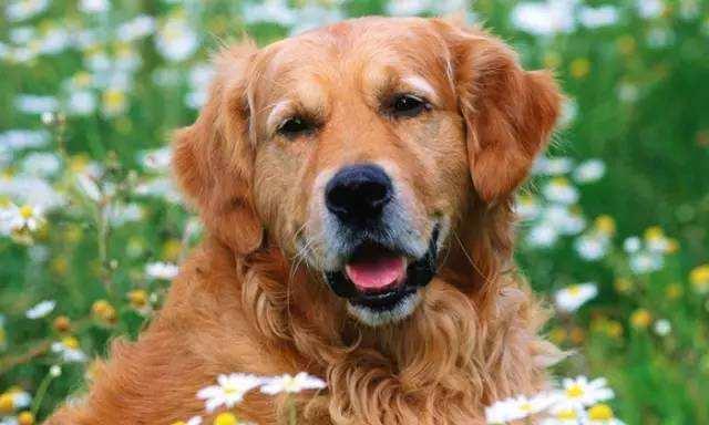 宠物狗老年犬散步时需要注意的事项