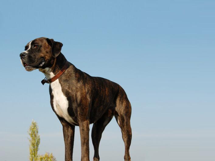 狗狗怎么交配?狗狗配种的4个正确方法