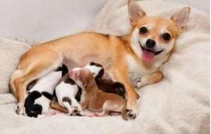 细数那些导致狗狗难产的原因?