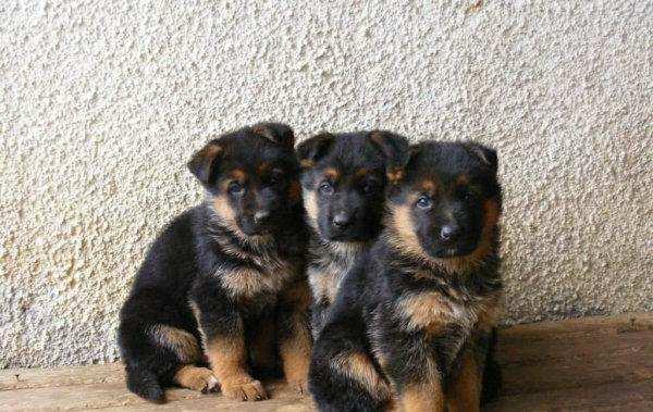 德国牧羊犬幼犬饲养