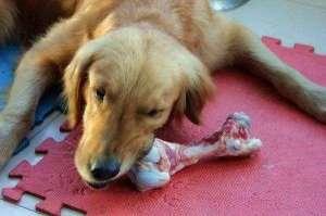能给狗狗吃生肉吗?