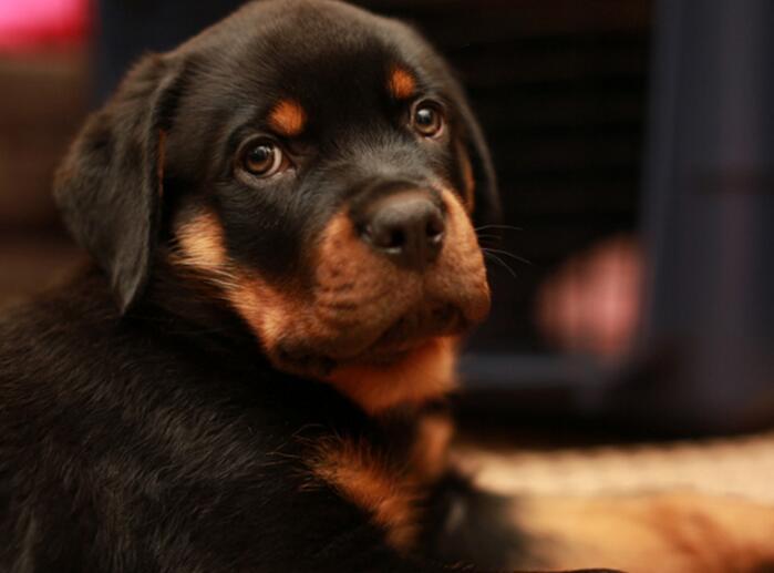 什么狗最聪明?盘点狗狗智商排行榜前十