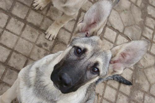 狼青幼犬感冒的症状,狼青幼犬发烧感冒是的主要表现