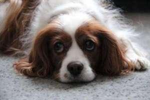 狗狗在什么情况下会难受还会哭?