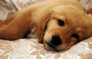 从这些睡姿来解读狗狗此时的情绪