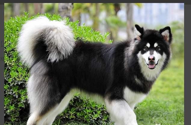 阿拉斯加雪橇犬与哈士奇的异同之处?