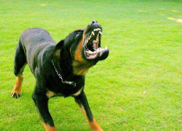 购买罗威纳犬的六大要素