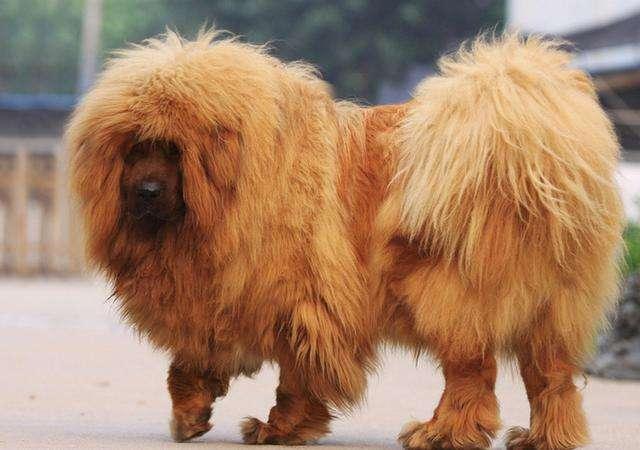 藏獒犬钩虫病的预防和诊治措施?