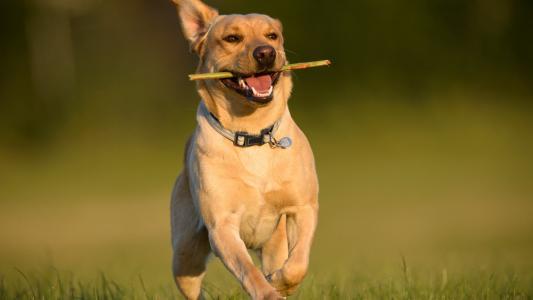 犬布鲁氏杆菌病的诊断和治疗方法