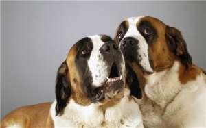犬产后抽搐症的治疗方案