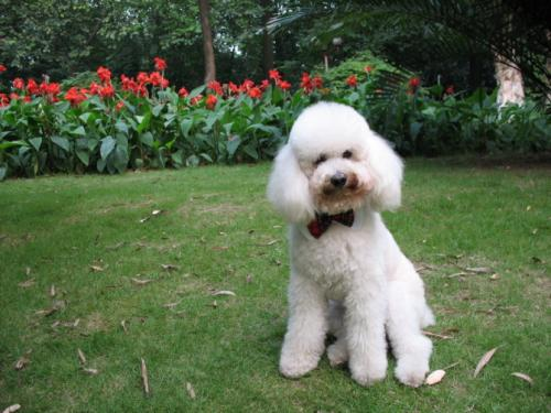 狗狗乳房炎的原因