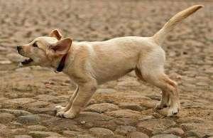 如何训练狗狗听令吠叫、停止?