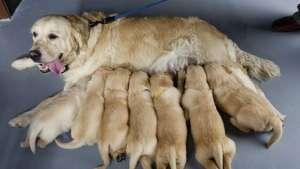 哺乳期母犬的护理方法