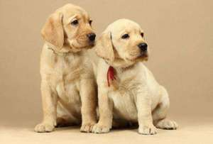 狗狗子宫蓄脓的原因、症状、诊治方法