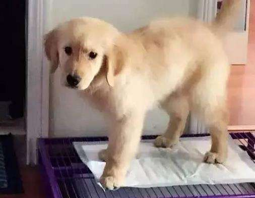 怎么教会狗狗去定点上厕所?