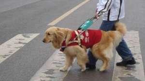 哪些狗狗适合做导盲犬?