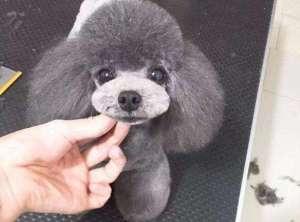 灰色泰迪犬多少钱一只?了解价格谨防上当