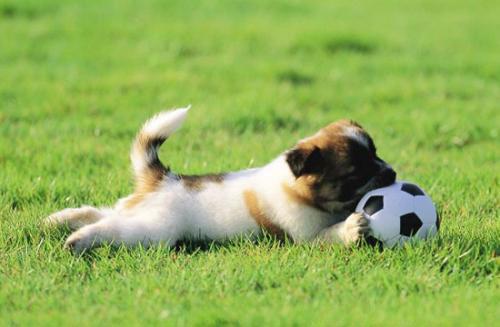 狗狗捡球训练方法!
