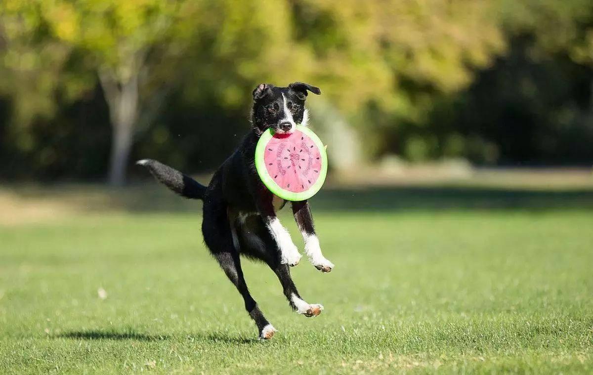 什么狗狗好训练呢?