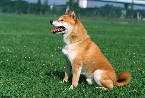 宠物犬的静止停坐与坐姿训练