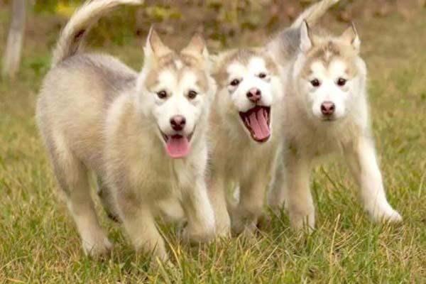 狗狗游散训练的方法与要点