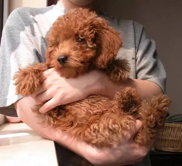 两狗相遇,为什么小型犬叫的比较凶?