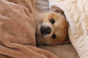 犬蠕形螨病症状、诊断及治疗方法?