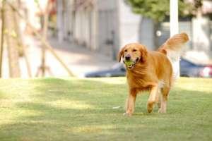犬焦虫病症状及治疗方法