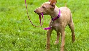 如何正确使用狗狗牵引绳?
